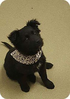 Cocker Spaniel/Sheltie, Shetland Sheepdog Mix Puppy for adoption in Paris, Illinois - Maddie