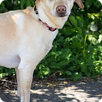 Chihuahua Mix Dog for adoption in Newport, Kentucky - Sassy Mae