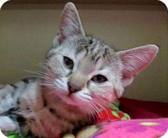 Domestic Shorthair Kitten for adoption in Lloydminster, Alberta - Drift