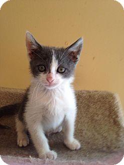 Domestic Shorthair Kitten for adoption in Bridgeton, Missouri - Bean