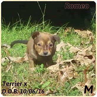 Terrier (Unknown Type, Small) Mix Puppy for adoption in DeForest, Wisconsin - Romeo