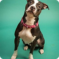 American Staffordshire Terrier Dog for adoption in Perry, New York - Nalani