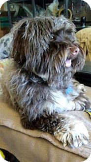 Havanese Mix Dog for adoption in West Des Moines, Iowa - Rosie Rae