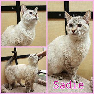 Siamese Cat for adoption in North Richland Hills, Texas - Sadie