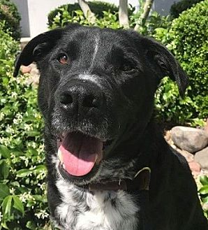 Labrador Retriever Mix Dog for adoption in Las Vegas, Nevada - Jean Marc