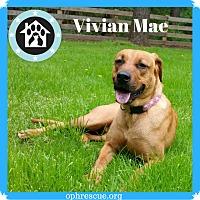 Adopt A Pet :: Vivian Mae - Alexandria, VA
