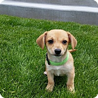Adopt A Pet :: Buddy (FORT COLLINS) - Fort Collins, CO