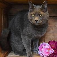 Adopt A Pet :: Solomon - Herndon, VA