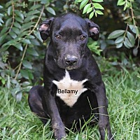 Adopt A Pet :: Bellamy - Grenada, MS
