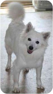 American Eskimo Dog Dog for adoption in House Springs, Missouri - Nala