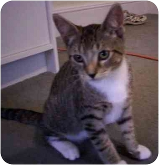 Domestic Shorthair Kitten for adoption in Little Falls, New Jersey - Capone (AC)