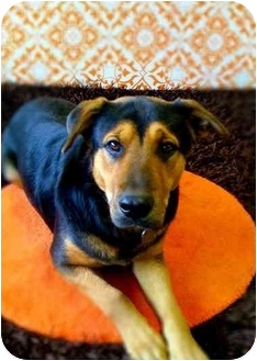 German Shepherd Dog Mix Dog for adoption in Portland, Oregon - Mars