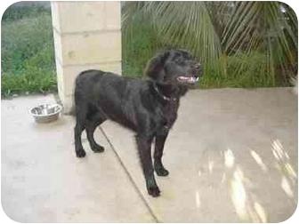 Cattle Dog/German Shepherd Dog Mix Dog for adoption in Chula Vista, California - Joy