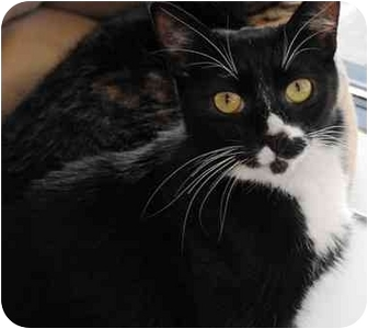 Domestic Shorthair Cat for adoption in Portland, Oregon - Goose