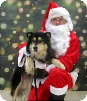 Husky/Shepherd (Unknown Type) Mix Dog for adoption in Overland Park, Kansas - Sasha