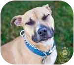 Boxer/Labrador Retriever Mix Dog for adoption in Seattle, Washington - Leah