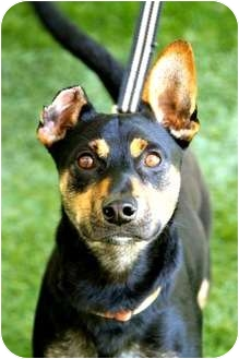 Manchester Terrier Mix Dog for adoption in Mission Viejo, California - Reggie