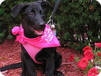 German Shepherd Dog/Labrador Retriever Mix Puppy for adoption in Edgewater, New Jersey - Lucy