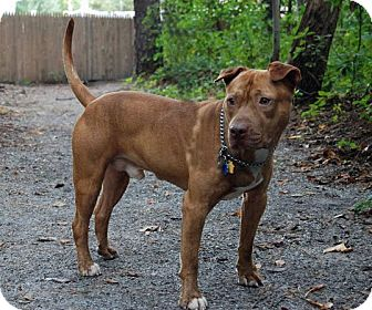 Pit Bull Terrier Mix Dog for adoption in Tinton Falls, New Jersey - Beiber