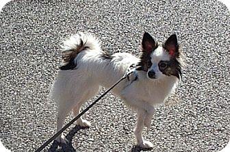Papillon/American Eskimo Dog Mix Dog for adoption in Beacon, New York - Belle