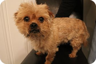 Yorkie, Yorkshire Terrier/Pekingese Mix Dog for adoption in Hagerstown, Maryland - Triton