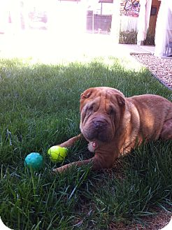 Shar Pei Dog for adoption in Apple Valley, California - Snooki