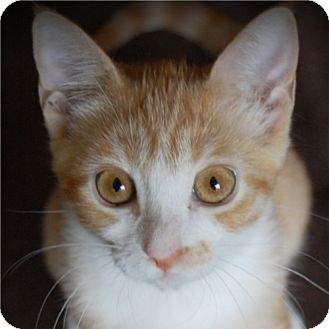 Domestic Shorthair Cat for adoption in Weatherford, Texas - Minnie