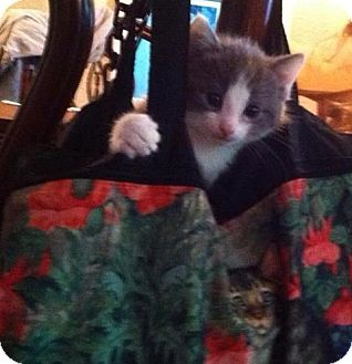 Domestic Mediumhair Kitten for adoption in Pulaski, Tennessee - Alexis