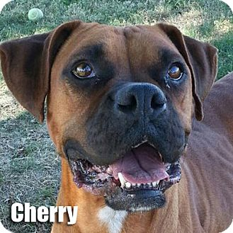 Boxer Dog for adoption in Encino, California - Cherry