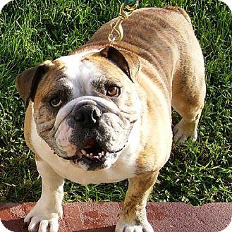 English Bulldog Dog for adoption in Hazard, Kentucky - ROCKY-Prison Obedience Trained