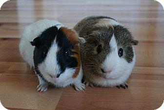 Guinea Pig for adoption in Brooklyn Park, Minnesota - Apollo & Helios