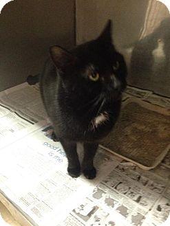 American Shorthair Cat for adoption in Lancaster, Virginia - Boo