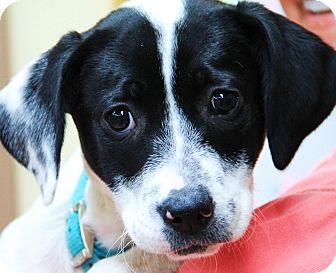 Labrador Retriever Mix Puppy for adoption in Minnetonka, Minnesota - Molly