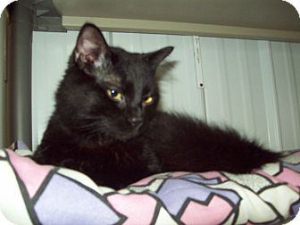 Domestic Shorthair Kitten for adoption in Marseilles, Illinois - Norris