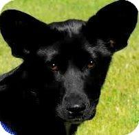 Shepherd (Unknown Type)/Yorkie, Yorkshire Terrier Mix Puppy for adoption in Wakefield, Rhode Island - TRINA(LOVES CHILDREN!!!