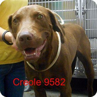 Labrador Retriever/Weimaraner Mix Dog for adoption in Greencastle, North Carolina - Creole