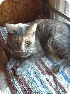 Domestic Shorthair Cat for adoption in Schertz, Texas - Aurora aka Hope HL