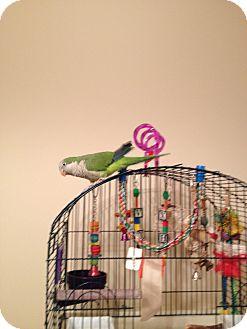 Parakeet - Quaker for adoption in St. Louis, Missouri - Tango