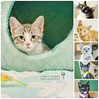 Domestic Shorthair Kitten for adoption in Pensacola, Florida - Kittens! Kittens!