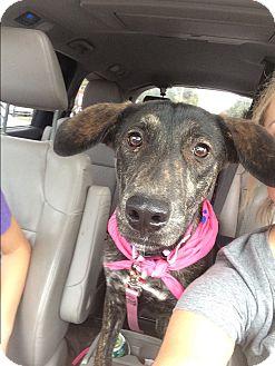 Labrador Retriever/German Shepherd Dog Mix Puppy for adoption in Rochester, New Hampshire - DELTA