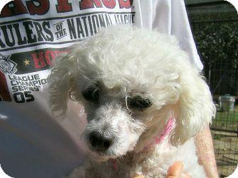 Poodle (Miniature) Mix Dog for adoption in Houston, Texas - Edna