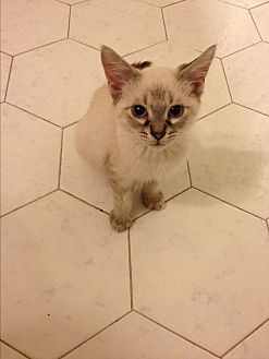 Siamese Kitten for adoption in Sunny Isles Beach, Florida - Lyle