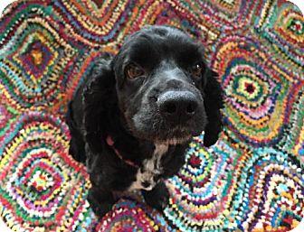 Cocker Spaniel Dog for adoption in Buffalo, New York - Quincy