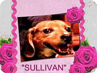 "Beagle Dog for adoption in Findlay, Ohio - SULLIVAN  ""Sully"""