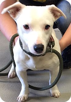 Jack Russell Terrier Mix Puppy for adoption in Wartrace, Tennessee - Jingles
