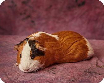Guinea Pig for adoption in Harrisonburg, Virginia - Madeline