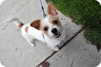 Jack Russell Terrier Mix Puppy for adoption in Meridian, Idaho - Louie