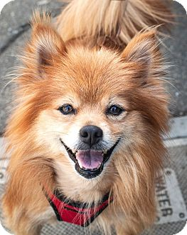 Pomeranian Dog for adoption in St Helena, California - Duncan