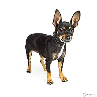 Miniature Pinscher/Chihuahua Mix Dog for adoption in Scottsdale, Arizona - Star