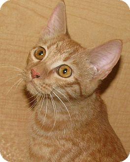 Domestic Shorthair Kitten for adoption in Tulsa, Oklahoma - Lil Mr Kitty